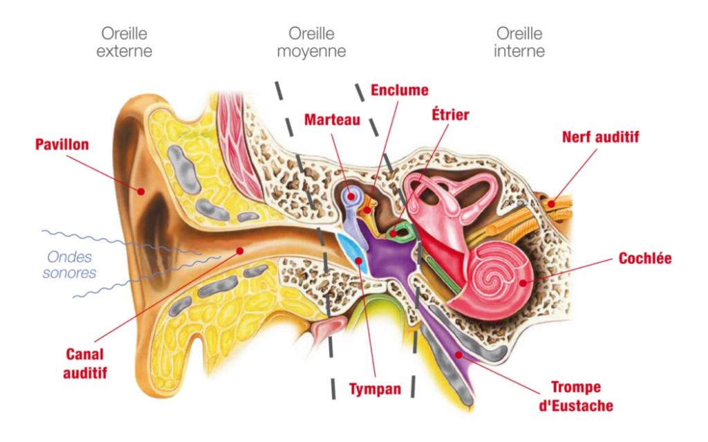 Composition de l'oreille